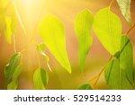 eucalyptus green leaves... | Shutterstock . vector #529514233