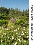 cistus x cyprius shrub  rock... | Shutterstock . vector #529540267