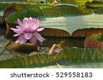 Small photo of Victoria Lily - Victoria amazonica Amazon Waterlily