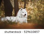Beautiful White Samoyed Breed...