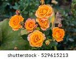 Close Up Of Golden Roses Flowe...