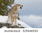 Lonely Coyote Howling On A...
