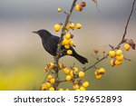 An Immature Male Blackbird ...