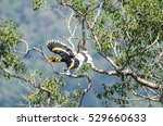 Great Hornbill Flying.khao Yai...