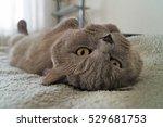 British Gray Cat Lying On His...
