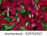 climbing clematis 'ruutel' | Shutterstock . vector #529702507