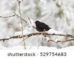 Blackbird On A Snowy Tree Branch