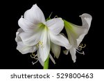 close up of white amaryllis... | Shutterstock . vector #529800463