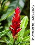 alpinia purpurata   red ginger  ... | Shutterstock . vector #529835647