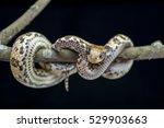 false water cobra snakes...   Shutterstock . vector #529903663