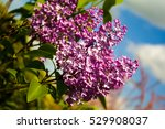 lilac  | Shutterstock . vector #529908037