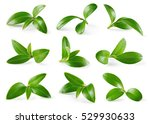 Cranberry Leaves Isolated On...