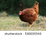 Hen Of Rhode Island Red