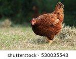 Hen Of Rhode Island Red