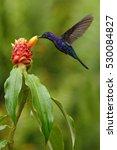 dark blue hummingbird violet... | Shutterstock . vector #530084827