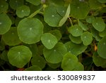 nasturtium | Shutterstock . vector #530089837