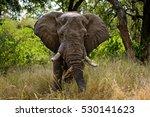 African Elephant Bull In Musk ...