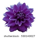 flower violet  motley dahlia.... | Shutterstock . vector #530143027