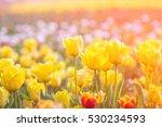 Tulip In Spring Under Sun Ray ...