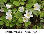 Wood Sorrel   Oxalis Acetosella