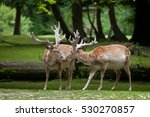persian fallow deer  dama dama... | Shutterstock . vector #530270857