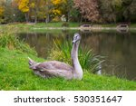 Grey Swan On The Grass Near Th...
