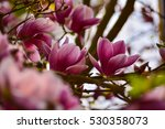 Sweet Pink Purple Blossoms Of...