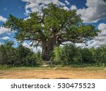baobab in bloom | Shutterstock . vector #530475523