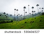 Small photo of World's tallest palm trees, Colombia