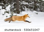 Red Fox  Vulpes Vulpes  With A...