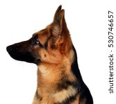 Stock photo a beautiful muzzle is the german shepherd isolated on a white background fluffy dog close up of 530746657