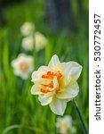 Double Daffodil Hybrid Ascot ...