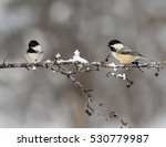 Two Black Capped Chickadees In...