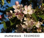 Blooming Apple Tree Flowers