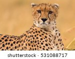Male Cheetah Sitting In Grass...