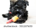 Cute Mini Schnauzer Puppy