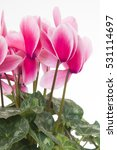 cyclamen magnia deep rose light ... | Shutterstock . vector #531114697