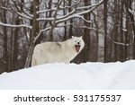 Arctic Wolf Howling In Snow In...