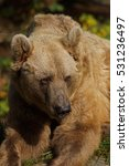 Small photo of Syrian brown bear - [Ursus arctos syriacus]