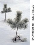 Two Young Pine Trees In The Snow