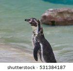 Molting Penguin