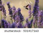 Macro Hummingbird Hawk Moth
