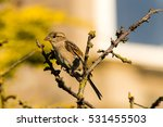 sparrow perched on a passeridae ... | Shutterstock . vector #531455503