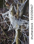 Frost Spiderweb On Tree In...