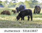 black and white angus crossbred ... | Shutterstock . vector #531613837