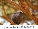 Small photo of An Australian Apostlebird perched on a branch of a tree.