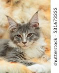 kitten of maine coon on spotted ... | Shutterstock . vector #531673333