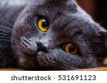 British Short Hair Cat Blue