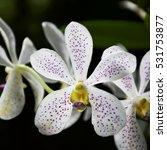 Small photo of White Vanda Orchid