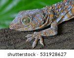 Closeup Of A Tokay Gecko  Geck...